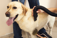 Labrador Retriever dried with a hair dryer Royalty Free Stock Images
