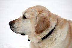 Labrador retriever dulce que juega en la nieve, mejor perro hermoso fotos de archivo