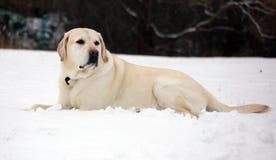 Labrador retriever dulce que juega en la nieve, mejor perro hermoso fotos de archivo libres de regalías