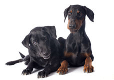 Labrador retriever e dobermann Imagem de Stock