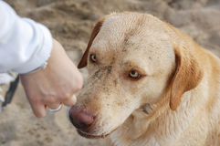 Labrador retriever. Eating from owners hand Stock Photo