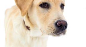 Labrador retriever em um fundo branco Fotografia de Stock Royalty Free