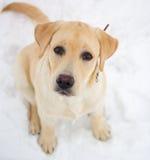Labrador retriever em uma caminhada do inverno Fotografia de Stock