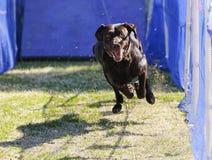 Labrador retriever emocionado del chocolate que persigue un señuelo Foto de archivo