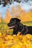 Labrador retriever en el otoño Imagen de archivo