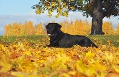 Labrador retriever en el otoño Imagen de archivo libre de regalías
