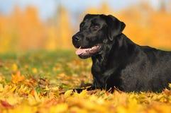 Labrador retriever en el otoño Fotografía de archivo