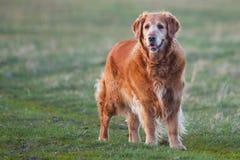 Labrador retriever en el parque en la salida del sol - trasero encendido Imagen de archivo libre de regalías