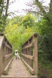 Labrador retriever en el puente Imagen de archivo libre de regalías