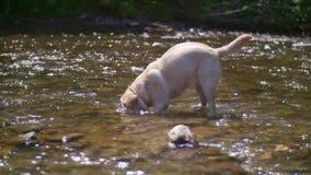 Labrador retriever en el río almacen de video