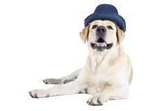 Labrador retriever en un sombrero azul Imágenes de archivo libres de regalías