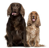 Labrador Retriever and English Cocker Spaniel Stock Images