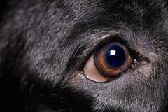 Labrador Retriever Eye Stock Image