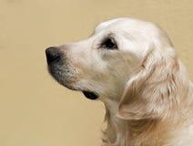 Labrador retriever, fine del ritratto di labrador retriever su, il raccolto capo, labrador nel fondo crema marrone che guarda diri Fotografia Stock