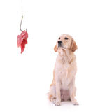 Labrador retriever and a fishing hook with meat. Isolated on white background Royalty Free Stock Photo
