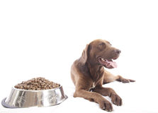 Labrador retriever and food Stock Images