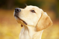 Labrador Retriever in a forest Stock Photography