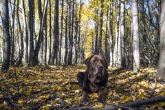 Labrador retriever in the forest on a background royalty free stock image