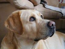 Labrador retriever fotogênico Liepaja, Letónia fotografia de stock royalty free
