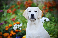 Labrador retriever, friend, cute, joy, fidelity,summer. Portrait of a puppy white Labrador Retriever colors Royalty Free Stock Photos