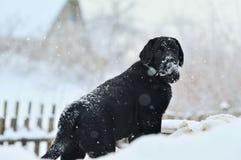 Labrador retriever, friend, cute, joy, fidelity,winter ,snow. Black Labrador Retriever for a walk in the winter Royalty Free Stock Photos