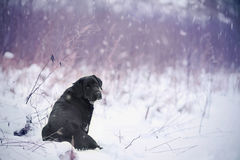 Labrador retriever, friend, cute, joy, fidelity,winter ,snow. Portrait of black Labrador Retriever in winter Stock Images