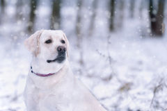 Labrador retriever, friend, cute, joy, fidelity,winter ,snow. Portrait of a white Labrador Retriever walking in the winter Stock Image