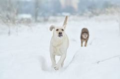 Labrador retriever, friend, cute, joy, fidelity,winter ,snow. White Labrador Retriever walking in the winter Royalty Free Stock Photography