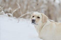 Labrador retriever, friend, cute, joy, fidelity,winter. White Labrador Retriever walking in the winter Stock Photography