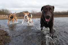 Labrador Retriever and friends. Having fun in the water Stock Photos