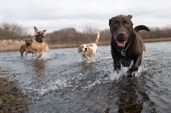 Labrador Retriever and friends Stock Photography