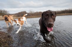 Labrador Retriever and friends Royalty Free Stock Photo