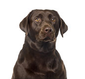 Labrador Retriever in front of a white background Royalty Free Stock Images