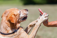 Labrador Retriever gives the paw Royalty Free Stock Photo