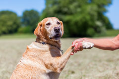 Labrador Retriever gives the paw Royalty Free Stock Photography