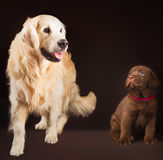 Labrador retriever, gold and chocolate together. Portrait royalty free stock photography