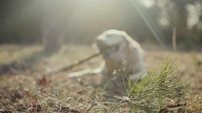 Walk with a dog in the spring forest stock footage