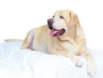 Labrador retriever gordo 7 años imagen de archivo