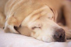 Labrador retriever gordo 14 años del sueño en el cojín, tono anaranjado imagenes de archivo