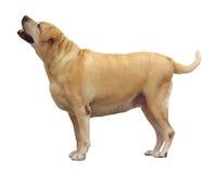Labrador retriever gordo, soporte en el fondo blanco fotos de archivo