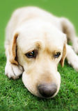 Labrador retriever on grass Royalty Free Stock Images