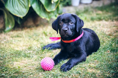 Labrador retriever on grass Stock Photo