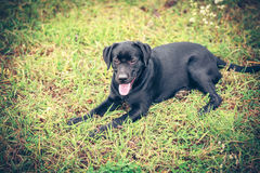 Labrador retriever on grass Stock Photography