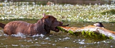 Labrador Retriever with half a tree Stock Photo