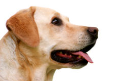Labrador Retriever Head Stock Photo