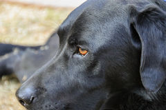 Labrador Retriever. The head of a Labrador Retriever Stock Images