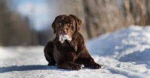 Labrador retriever hermoso del chocolate que presenta afuera en el invierno Labrador en la nieve foto de archivo libre de regalías