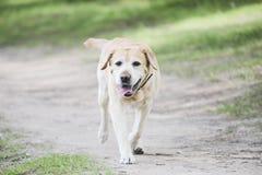 Labrador Retriever Stock Images
