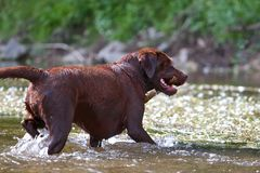 Labrador Retriever in his element Royalty Free Stock Photos