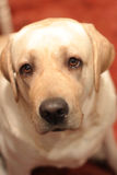 Labrador. Labrador retriever in the house Royalty Free Stock Image